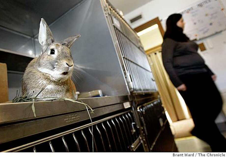 Squirrel, a funny name for a rabbit, watches as Amber Jennings walks into one of the pen areas of the facility. The House Rabbit Society in Richmond, CA is a rabbit rescue charity that usually houses about 30 rabbits Tuesday, December 23, 2008. Photo: Brant Ward, The Chronicle