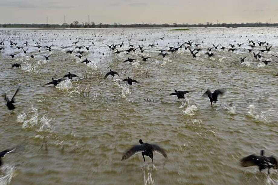 Coots fly across the water of the flooded Yolo Bypass - part of the Pacific Flyway - on Tuesday, February 2, 2010. The Yolo Bypass is flooded for the first time since 2006 due to high water in the Sacramento River following recent storms. As a result, it's become a vast wetland filled with new-hatched insect blooms feedings schools of native salmon and splittail fish --  and even more waterfowl. The transformation highlights an ongoing debate over a possible broader role for the bypass in restoring the Delta. Photo: Randy Pench, Sacbee.com