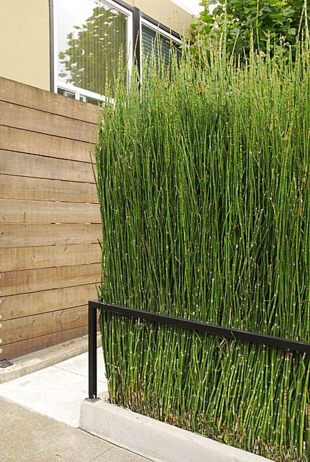 In its place, that is bounded by a concrete enclosure, horsetail makes a handsome design statement, but loose in a garden, it can become a terrible weed. Photo: David Goldberg