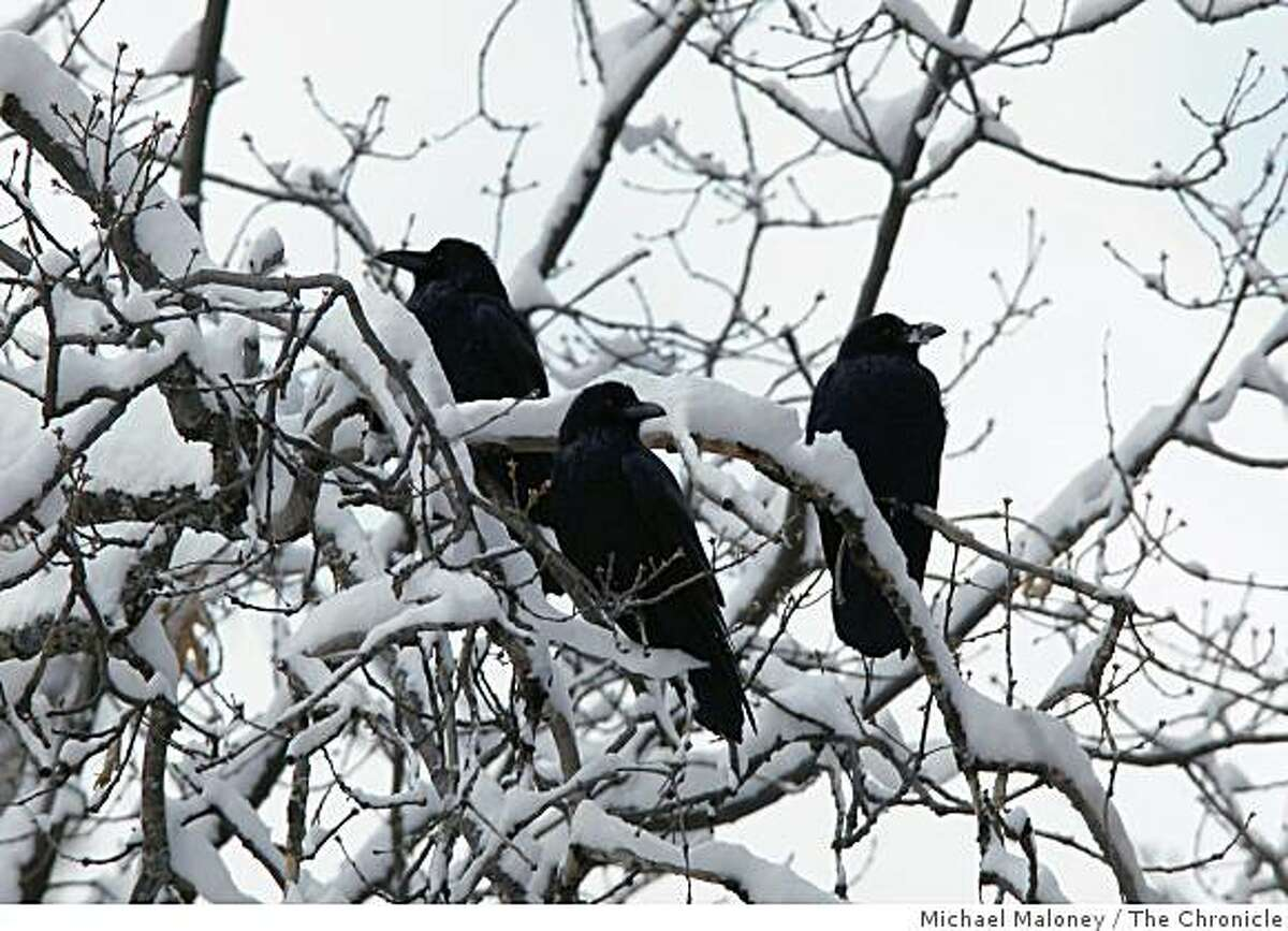A trio of ravens roost in a snow covered tree near Yosemte Village on December 14, 2008.