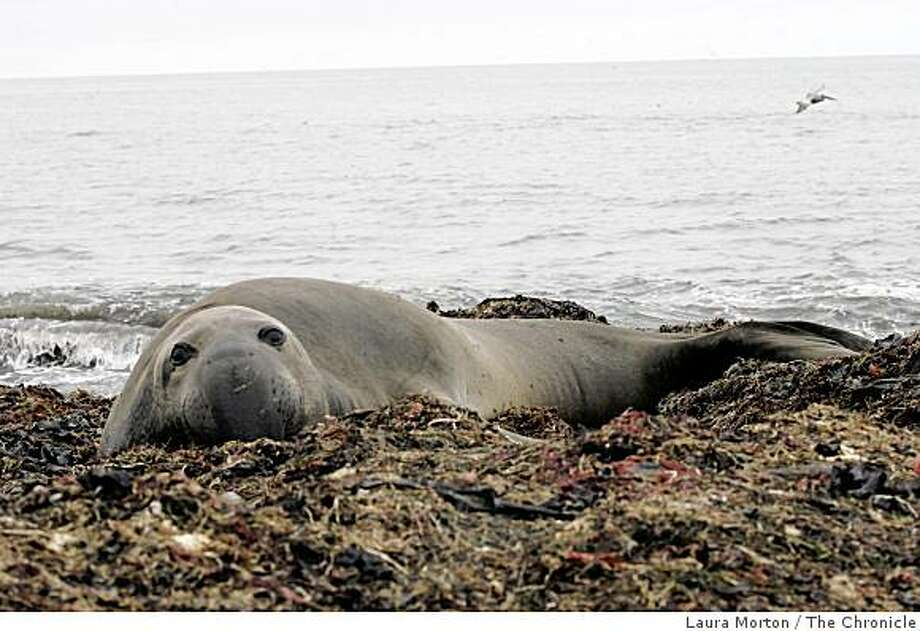 An elephant seal relaxes on the beach in A�o Nuevo State Park in San Mateo County. Photo: Laura Morton, The Chronicle