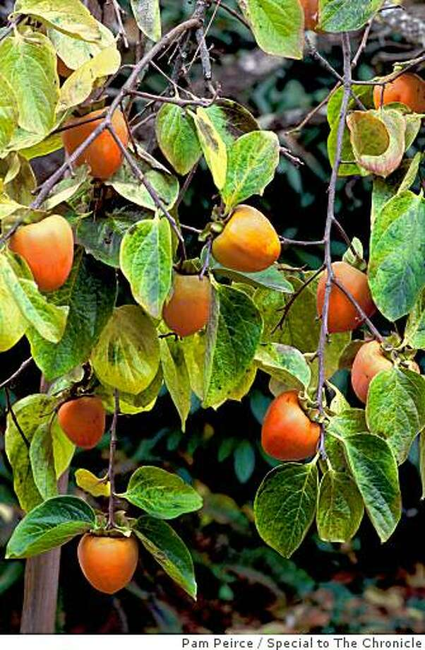 Branches laden with ripe Hachiya persimmons. Leaves that turn golden in fall while the orange fruit is still attached enhance the ornamental value of the tree. Photo: Pam Peirce, Special To The Chronicle