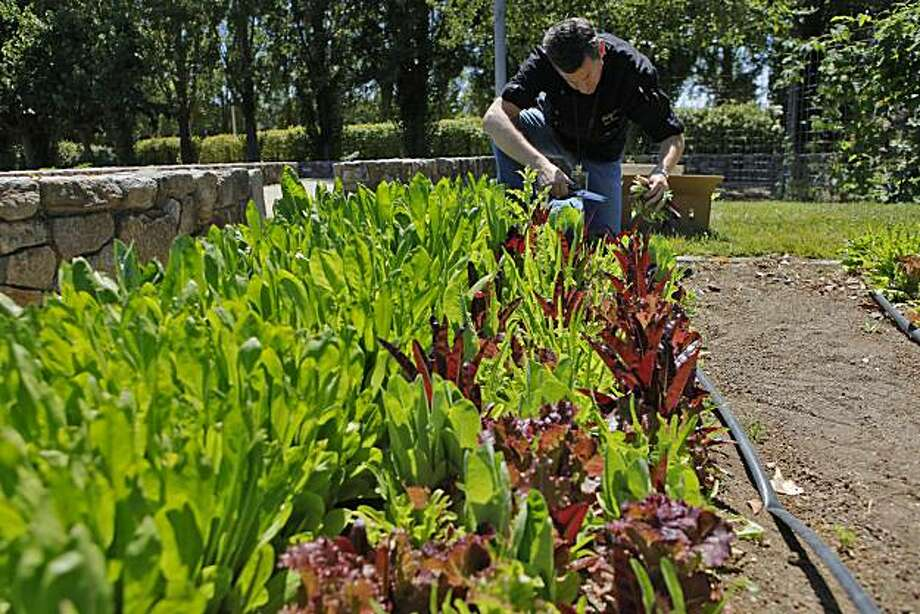 Chef Ken Frank picks mixed lettuce from the Copia gardens, Tuesday July 13, 2010, in Napa, Calif. Later he made broccoli and horseradish soup for his customers at the La Toque restaurant in the Weston Hotel. Photo: Lacy Atkins, The Chronicle