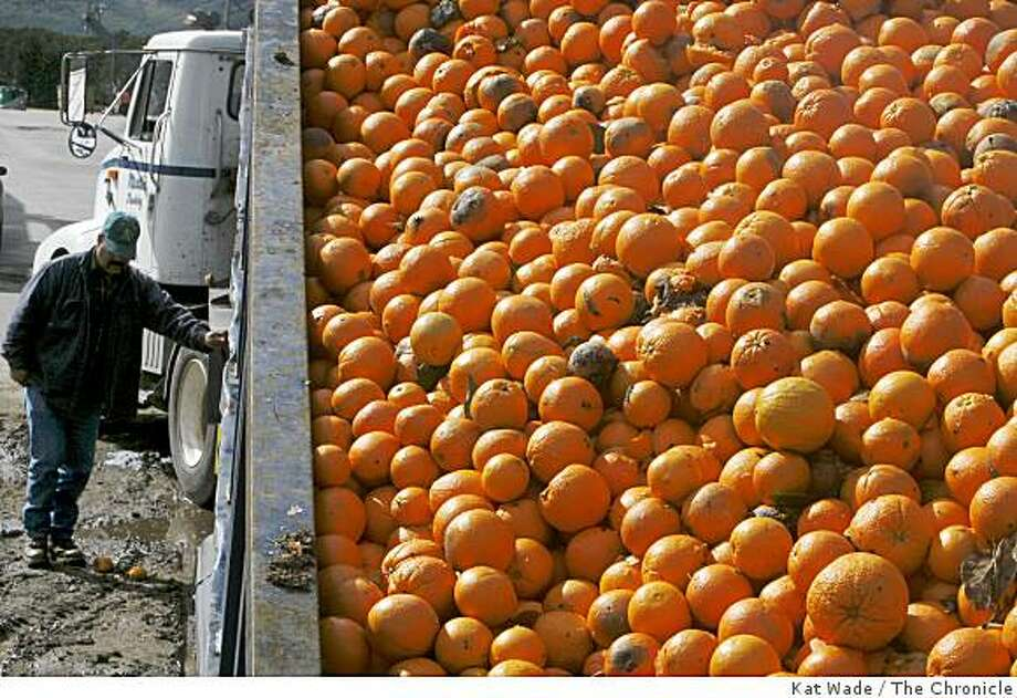 Francisco Gonzalez loads a dumpster full of freeze damaged and rotten oranges preparing to take them to the dairy farms for cow feed at Cecelia Packing Corporation, a grower, packer and shipper of oranges in Orange Cove on March 3, 2007. Photo: Kat Wade, The Chronicle