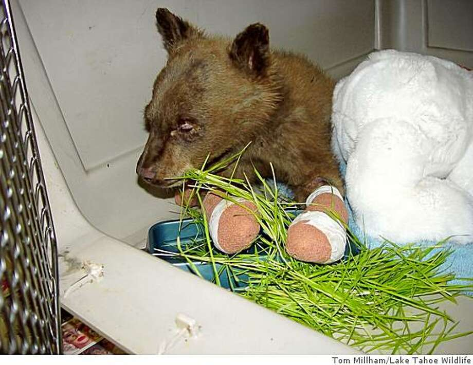 During his first couple of weeks at Lake Tahoe Wildlife Care, the fire-refugee bear cub, Li'l Smokey, was offered a variety of 'natural' foods in an attempt to put weight on the little guy.  He came in on July 18 at 8 1/2 pounds.  As of September 28th, he weighed in at 46 1/2 pounds.  In this photo, taken in early August, one of his favorites was Wheat Grass. Photo: Tom Millham/Lake Tahoe Wildlife