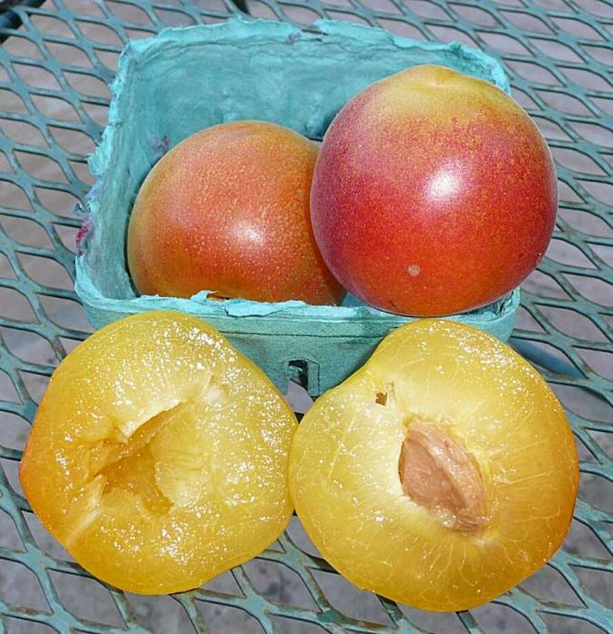 Peacotum, a hybrid of peach, apricot and plum. Photo: Diane  Weissman