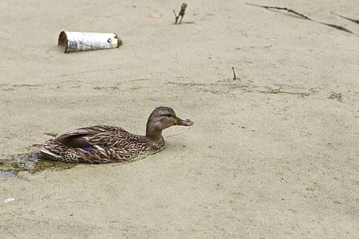 A duck swims through the Lily Pond past a piece of trash in Golden Gate Park in San Francisco, Calif., on Friday, July 16 , 2010. The Lily Pond is currently in a bad state and is filled with duck weed and invasive frogs.