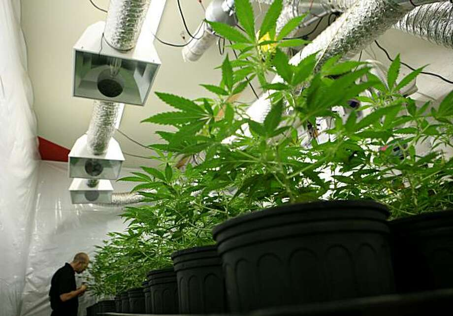 A local grower of medicinal marijuana, who wishes to remain anonymous, tends to his 96 plant farm on Sunday, July 18, 2010 in the East Bay, Calif. Photo: John Sebastian Russo, The Chronicle
