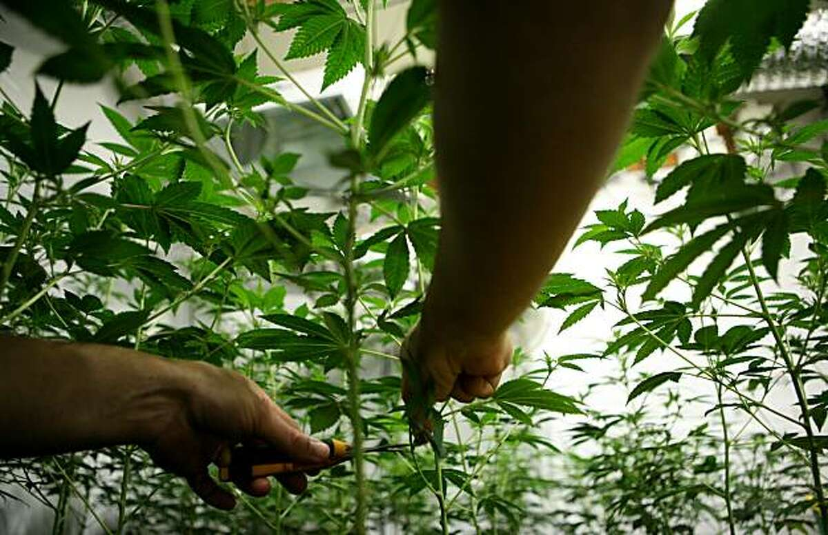 A local grower of medicinal marijuana, who wishes to remain anonymous, prunes his 96 indoor plant farm on Sunday, July 18, 2010 in the East Bay, Calif.