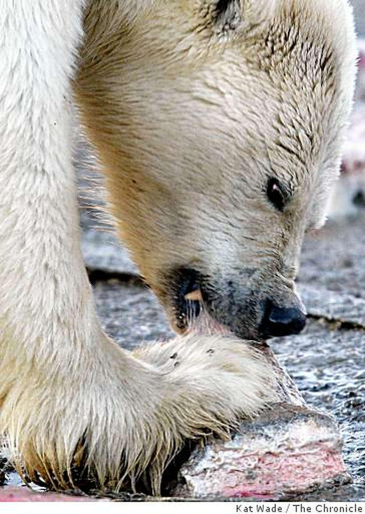 A polar bear feeds on leftover whale blubber in Kakovik, Alaska.