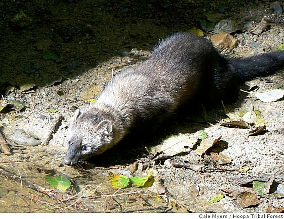 The Pacific fisher, a chocolate-brown, furry marten-like mammal that had been eradicated from most of California, is being considered for protection under  endangered species laws because of pressure by environmental groups and scientists. These rare animals may souon be reintroduced to some forests where they once lived. Photo: Cale Myers, Hoopa Tribal Forest