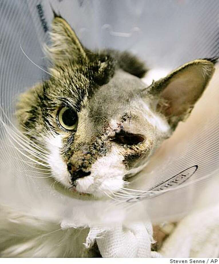 Edgar, a 4-year-old long-haired female cat, is seen with stitches running the length of her face while resting with an Elizabethan collar around her neck following surgery at the Angell Animal Medical Center, in Boston, Tuesday, Dec. 9, 2008. Veterinarians completed an unusual surgery to reattach the face of the cat that was slashed by a car's fan belt while she apparently tried to stay warm under the hood. (AP Photo/Steven Senne) Photo: Steven Senne, AP
