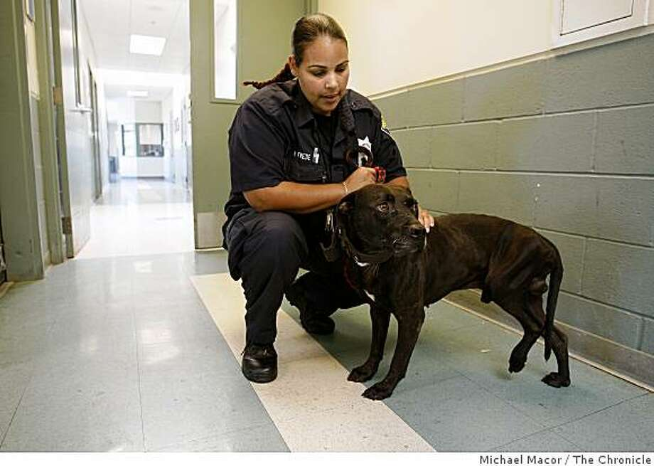 Animal Control Officer NIcole Frede, holds a Pit Bull believe to be around 3 years old that was taken into custody from his owner after it was suspected the dog was being used for fighting. Photographed in, Oakland, Ca, on 7/18/07. Photo: Michael Macor, The Chronicle