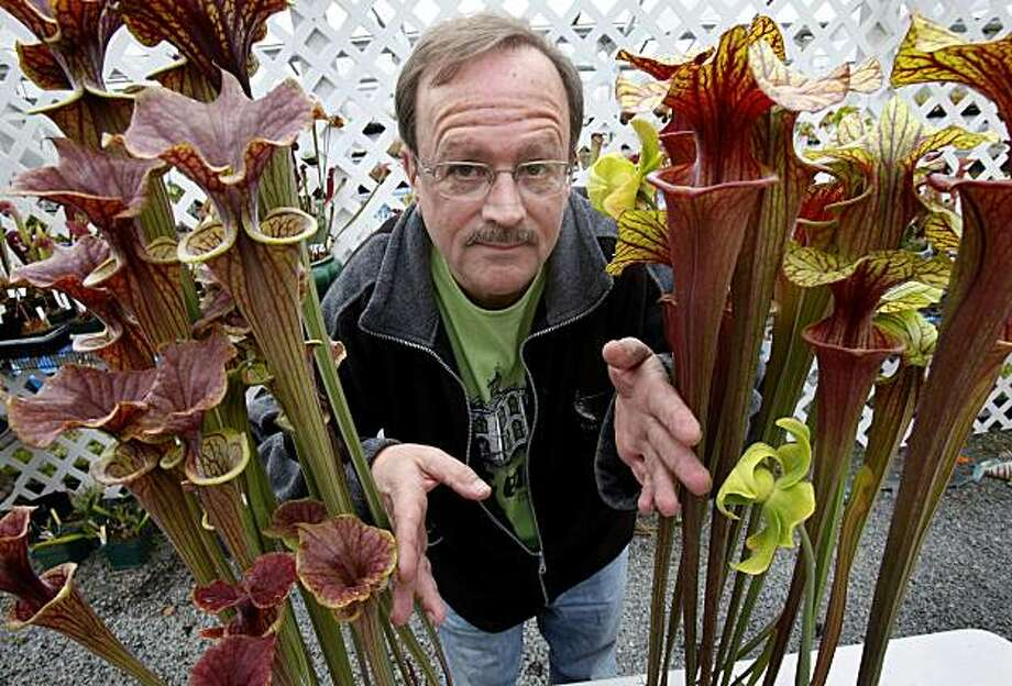 Peter D'Amato is proud of the fact that many of his plants come from America like these pitcher plants. Peter D'Amato is the king of carnivores plants and the owner of California Carnivores in Sebastopol, Calif.  He is the supplier for CHOMP, an exhibitioPeter D'Amato is proud of the fact that many of his plants come from America like these pitcher plants. Peter D'Amato is the king of carnivores plants and the owner of California Carnivores in Sebastopol, Calif.  He is the supplier for CHOMP, an exhibition of meat-eating plants on display at the Conservatory of Flowers in San Francisco. Photo: Brant Ward, The Chronicle