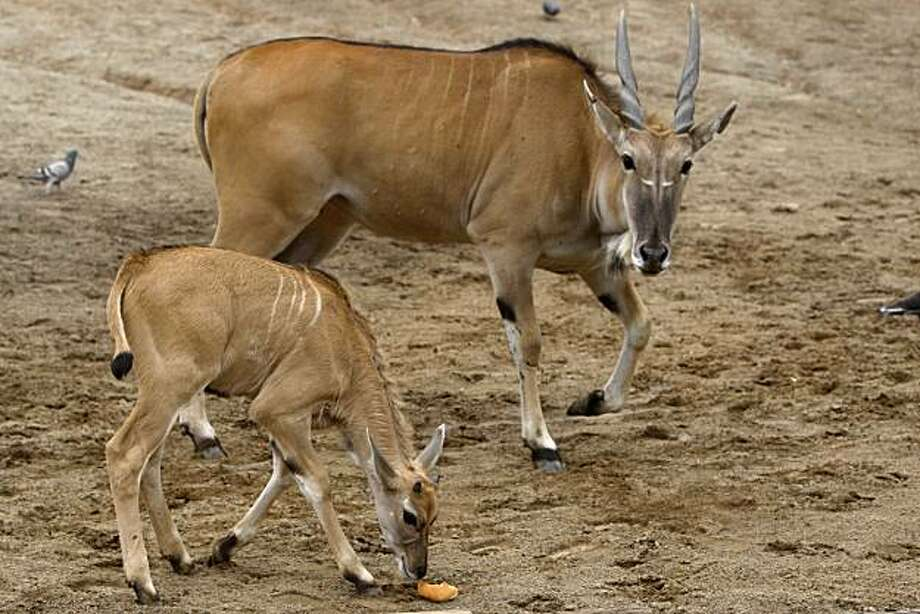 Bali, a baby eland, has a snack next to her mother, Etana, in the giraffe exhibit at the Oakland Zoo on Tuesday May 18, 2010 in Oakland, Calif.  Bali, born on April 21, is the first eland to be born at the zoo in 30 years. Photo: Mike Kepka, The Chronicle
