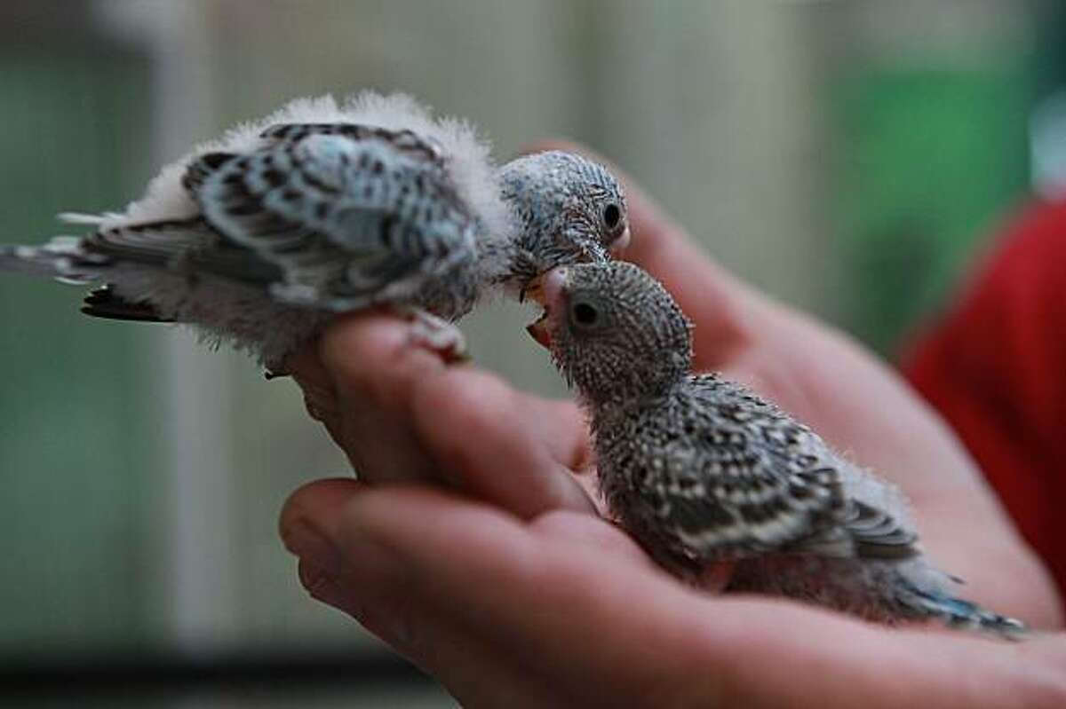 Hand fed budgies at Animal Connection, in San Francisco, Calif., on Wednesday, July 7, 2010. San Francisco is considering ban on all pet sales in the city.