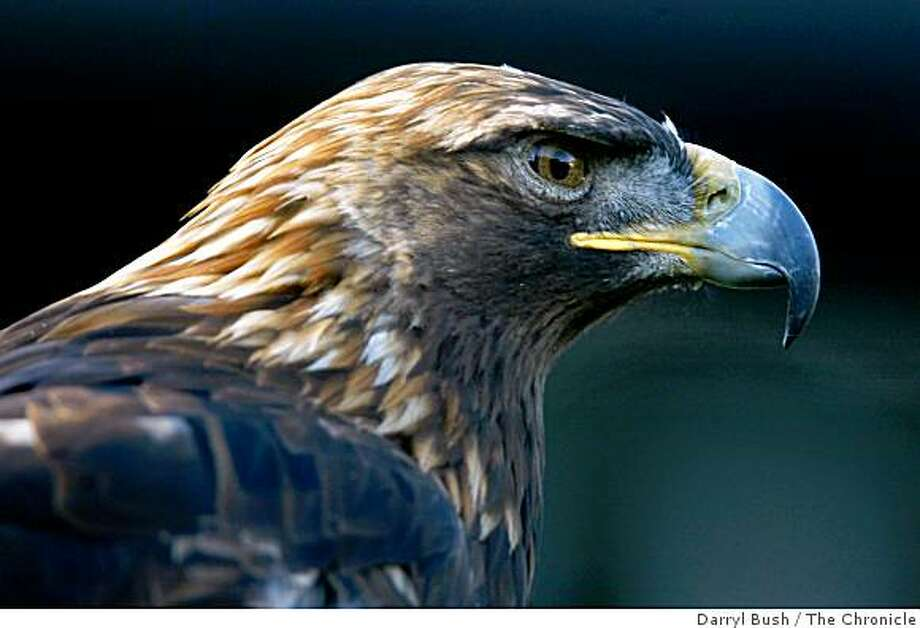 """zoobirds_0010_db.jpg  """"Sierra"""" a female Golden Eagle is tethered while sunning on a hill at the birds of prey exhibit at the San Francisco Zoo. Zoos are starting to take note of avian flu worries. Many zoo birds of prey could not live in the wild due to injuries and were rescued and brought to the zoo.  Event on 1/6/06 in San Francisco.  Darryl Bush / The Chronicle Photo: Darryl Bush, The Chronicle"""