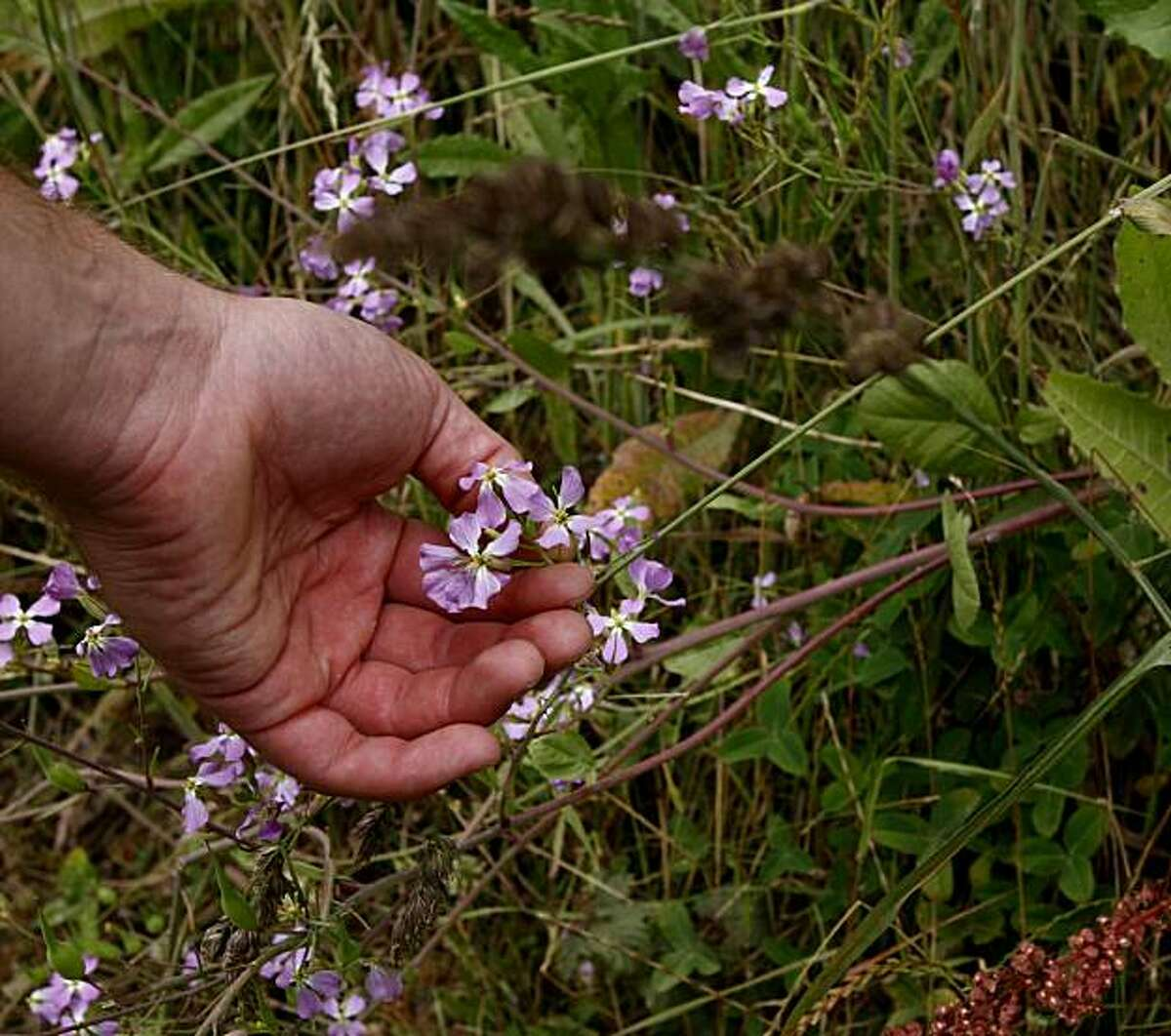 Iso Rabins forages for wild radish and mustard near Muir Beach on Monday, July 12, 2010 in Muir Beach, Calif.