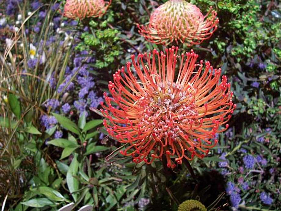 """Get up close with a   """"Tango"""" Pincushion Bush (Leucospermum cordifolium) like the one above or thousands of plants, flowers and garden goodies at the San Francisco Flower and Garden Show March 24-28 at the San Mateo Event Center. The display gardens, green seminars, DIY workshops and children's events make it fun and educational for all ages. Photo by Dawn Stranne Photo: Dawn Stranne"""