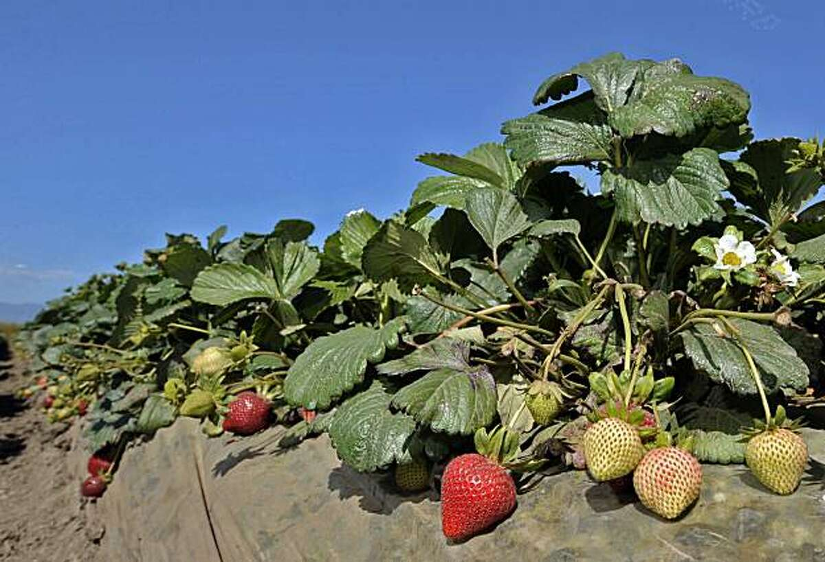 This May 13, 2010 photo shows strawberries growing in a field, in Ventura, Calif. California's strawberry fields have become the latest battleground in an ongoing series of skirmishes over pesticide use. Growers say they need state regulators to approve the use of the fumigant methyl iodide as a replacement for methyl bromide, which is being phased out to meet federal environmental guidelines.