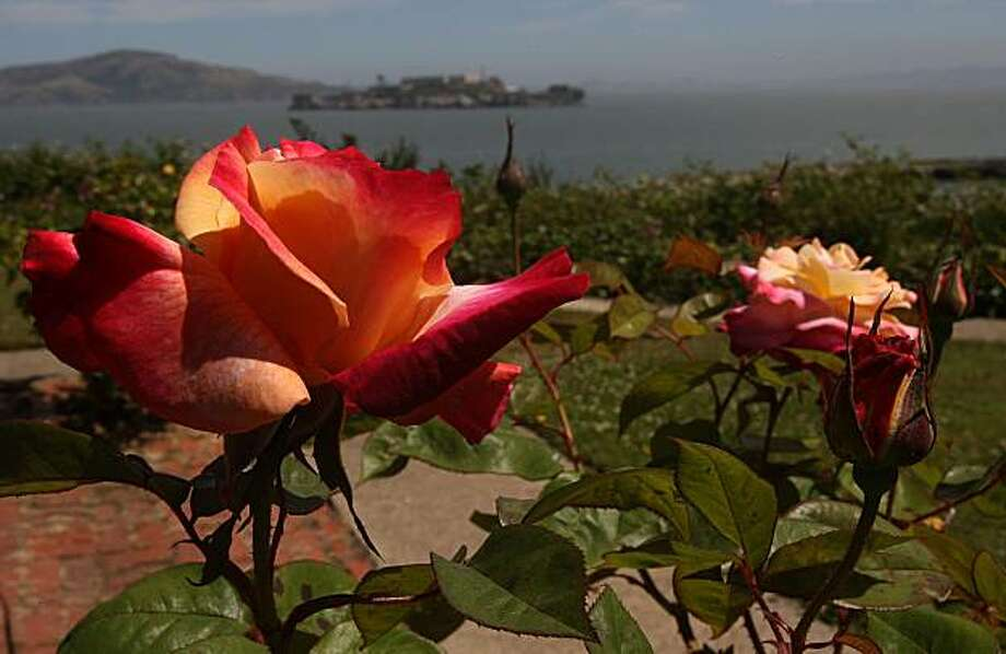A hybrid tea rose in Ken Maley's yard at his Fort Mason home in San Francisco, Calif., on Thursday, June 17, 2010. Photo: Liz Hafalia, The Chronicle