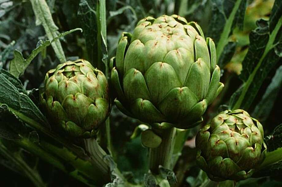 Good genetics, timely harvest, and good care are needed to harvest tender, pest-free artichokes. Photo: Pam Peirce