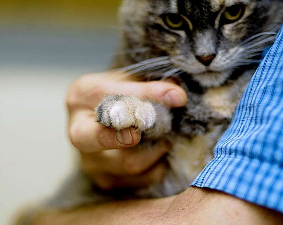 In the arms of Animal Care Supervisor Eric Zuercher, Sadie, a declawed three year old cat, shows her declawed front paw while waiting for adoption at the San Francisco Animal Care and Control Shelter in San Francisco. San Francisco supervisor Ross Mirkarimi had recently proposed a legistation in banning declawing in the city after the City's Animal Care and Welfare Commission voted 5-1 in recommending the ban. Declawing, also known as onychectomy, according to The Human Society of the United States, is a surgical procedure often done by amputating the last bone of each toe for reasons ranging from people's fears of being scratched and preventing cats from damaging household items. Photo: Stephen Lam, The Chronicle