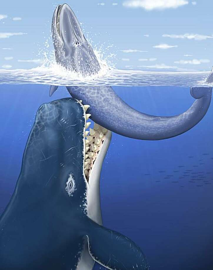 """This artists' rendering provided by the journal Nature shows a raptorial sperm whale Leviathan melvillei attacking a medium-size baleen whale off the coast of the area now occupied by Peru.  Scientists have discovered an ancient whale whose bite ripped huge chunks of flesh out of other whales about 12 million years ago, and they've named it after the author of """"Moby Dick."""" Photo: C. Letenneur, AP"""