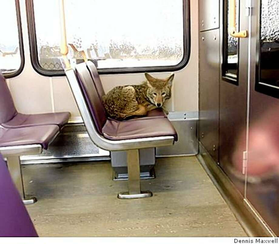 Photo by Dennis Maxwell/Port of PortlandCoyote on a light-rail train at Portland International Airport. The coyote was captured and released outside the airport grounds. Photo: Dennis Maxwell, AP ?
