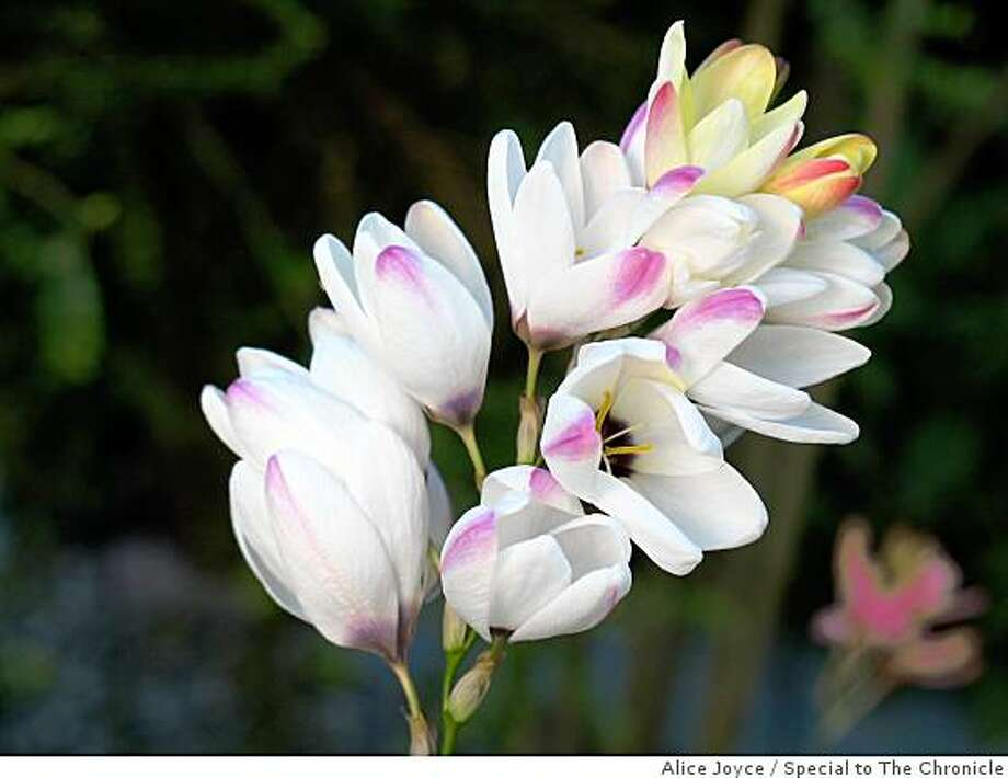 Ixia hybrids Photo: Alice Joyce, Special To The Chronicle