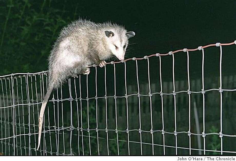 An opossum baby walks along the top of a fence. Photo: John O'Hara, The Chronicle