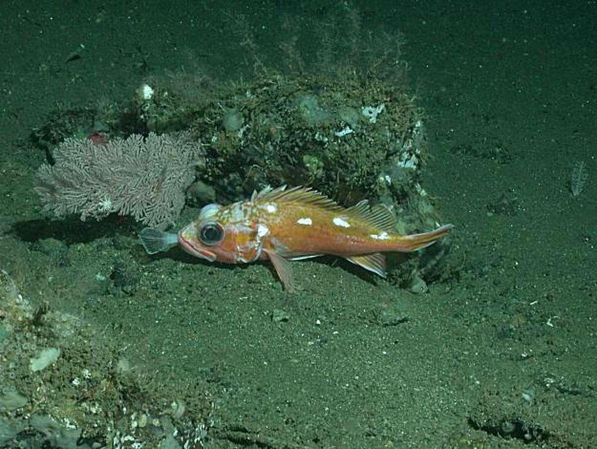 Rockfish foraging near a primnoid deep-sea coral 750 feet (350 m).