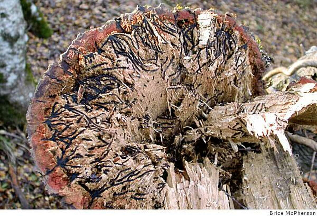 These are images of an infected oak whose trunk snapped due to beetle damage.