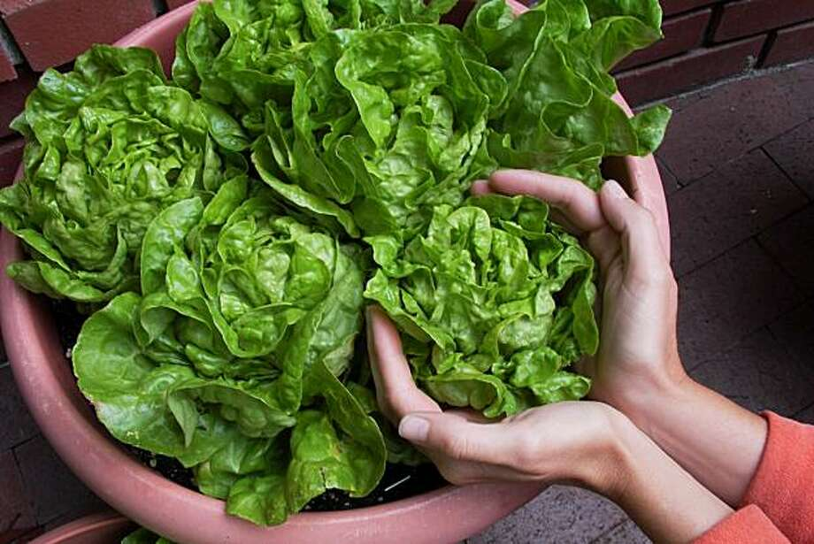 Miniature lettuce matures faster than the regular variety and is ideal for container gardening. Photo: Courtesy Of Renee's Garden