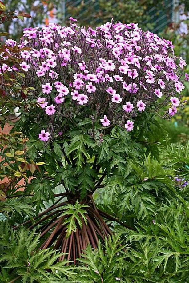 Geranium maderense Photo: Kelly Kilpatrick, Annie's Annuals