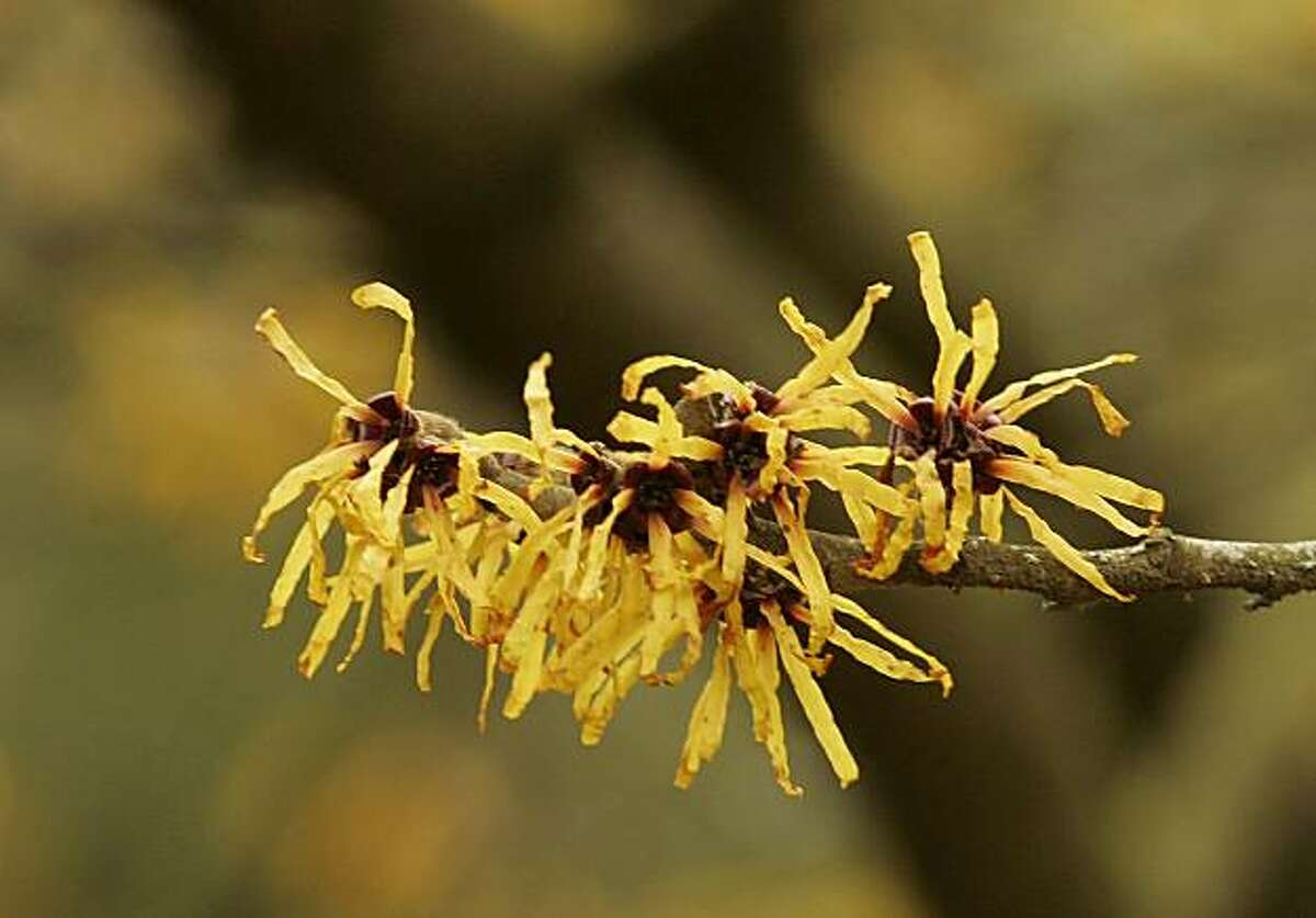 A bloom on a Chinese Witch Hazel tree is shown Tuesday, Feb. 21, 2006 in the Washington Park Arboretum in Seattle.