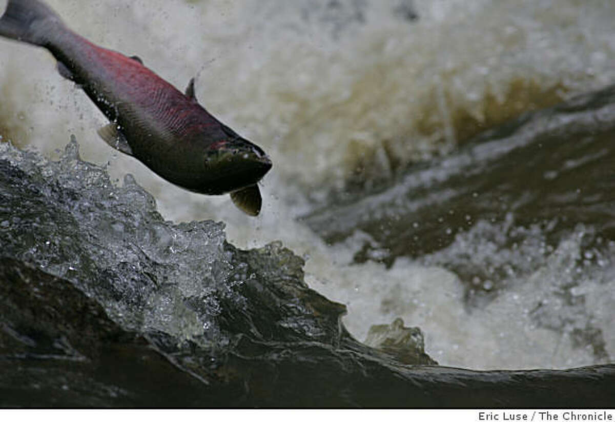 At the Ink Wells waterfall on San Geronimo Creek, a coho salmon leaps through the churning water en route to its spawning ground on December 9, 2005.