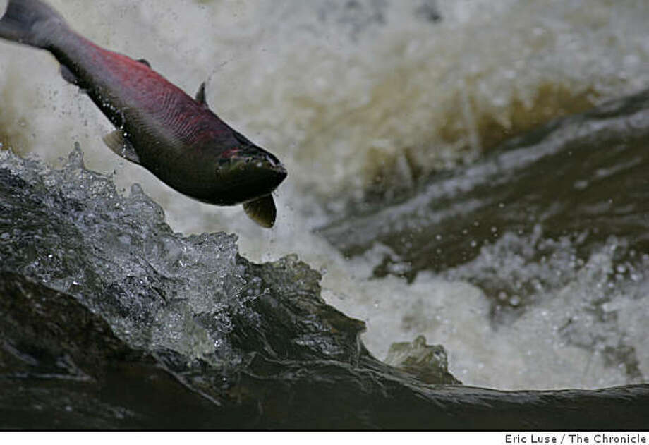 At the Ink Wells waterfall on San Geronimo Creek, a coho salmon leaps through the churning water en route to its spawning ground on December 9, 2005. Photo: Eric Luse, The Chronicle