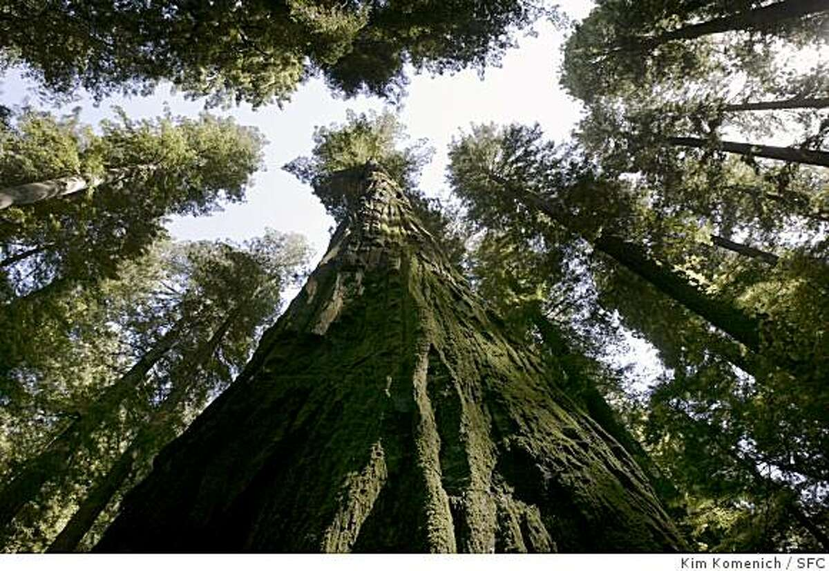 LOSTCOAST_440_kk.jpg Detail of some of the redwoods on the Founders Grove loop trail on the Avenue of the Giants. Photos for Chronicle Sunday Magazine feature by Linda Watanabe McFerrin on California's Lost Coast featuring Shelter Cove, Petrolia, Cape Mendocino, Honeydew, the King Range, the Avenue of the Redwoods, and Rockefeller Forest. Photo by Kim Komenich in Garberville.