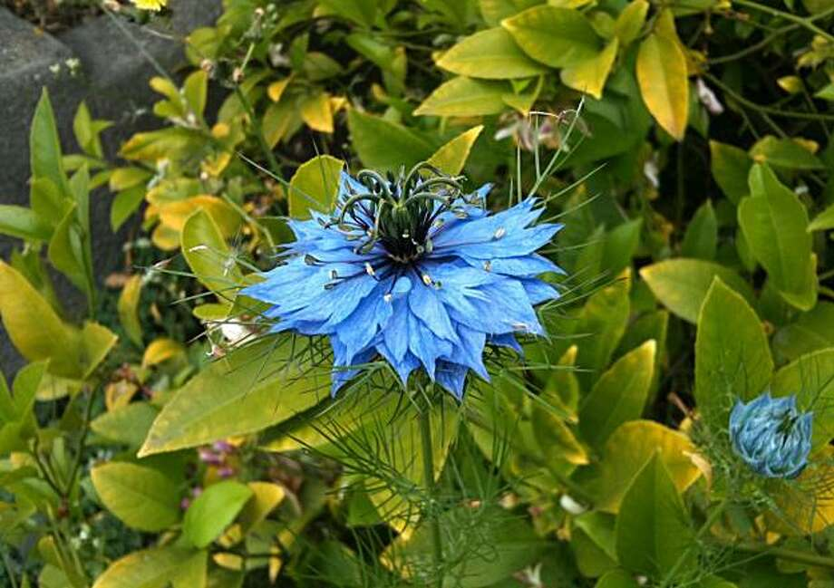 Lovely and easy to grow, love-in-a-mist, or nigella, can reseed itself in unexpected places. Photo: John Leydecker