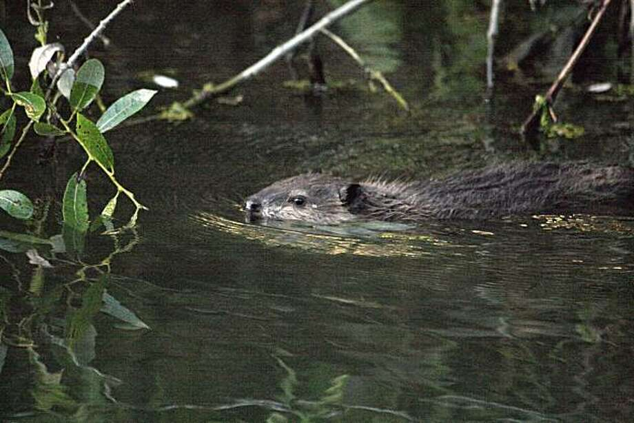 A beaver kit was spotted in Martinez's Alhambra Creek, which has been home to a family of beavers for four years Photo: Courtesy, Cheryl Reynolds