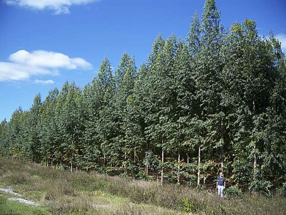 This Nov. 11, 2008 photo released by ArborGen shows a field of genetically engineered eucalyptus trees in Sebring, Fla. South Carolina-based ArborGen has received federal approval to plant about 250,000 more trees in locations around the South for use by International Paper, MeadWestvaco and Rubicon LTD. (AP Photo/ArborGen) NO SALES Photo: ArborGen, AP