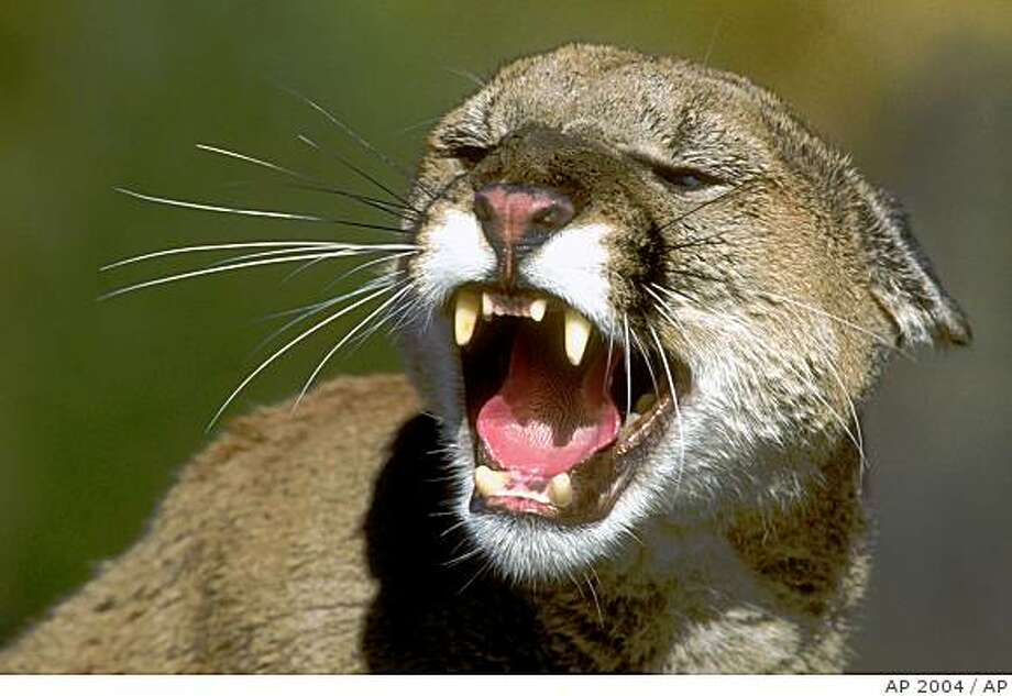 mountain lion is shown in this undated photo provided by the California Department of Fish and Game. Photo: AP 2004, AP