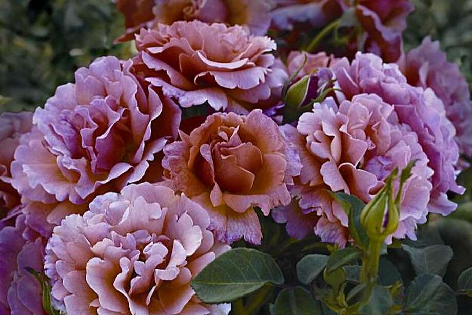 The All-America Rose Selection for 2010:  �Easy Does It,� didn�t just receive the highest scores from judges across the country, it left other contenders in the dust.  Credit: Weeks Roses Photo: Gene Sasse, Weeks Roses
