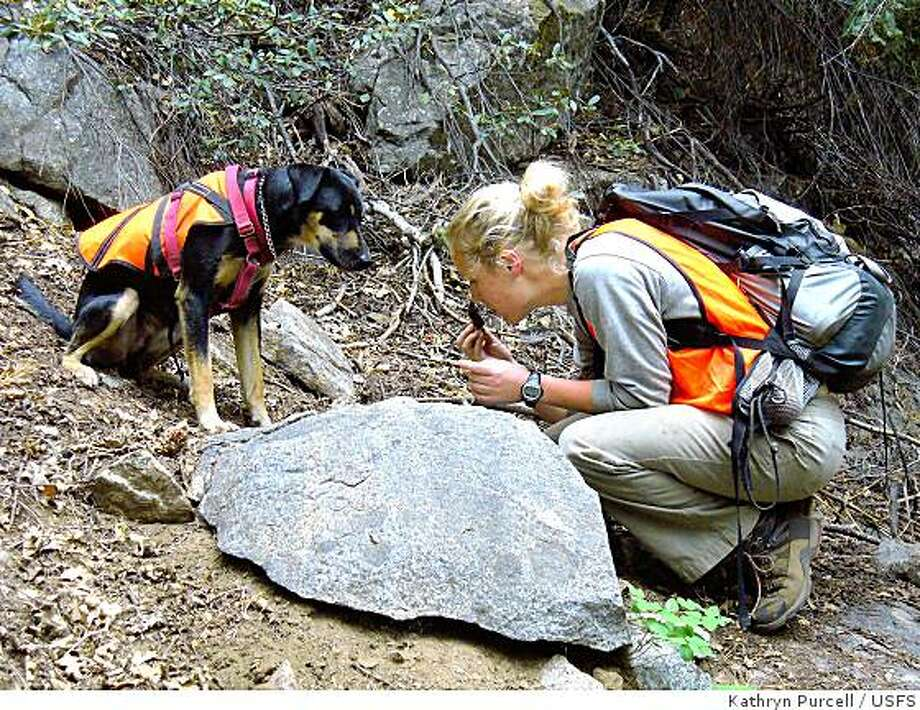 Scat dog Mocha watches as handler Lindsay Madden checks scat as the two search for signs of fisher (an endangered relative of the weasel) in California's Sierra mountains. Photo: Kathryn Purcell, USFS
