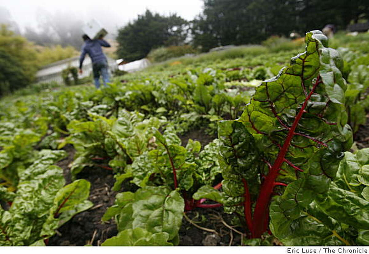 The demand for locally grown organic food, such as this red chard grown at the Green Gulch Farm in Muir Beach, will likely continue in 2010.