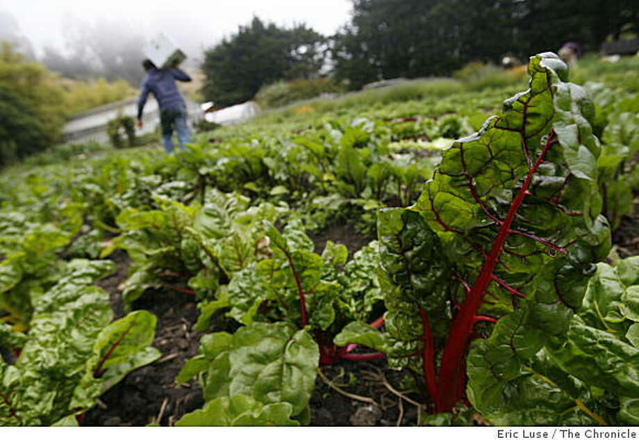 The demand for locally grown organic food, such as this red chard grown at the Green Gulch Farm in Muir Beach, will likely continue in 2010. Photo: Eric Luse, The Chronicle