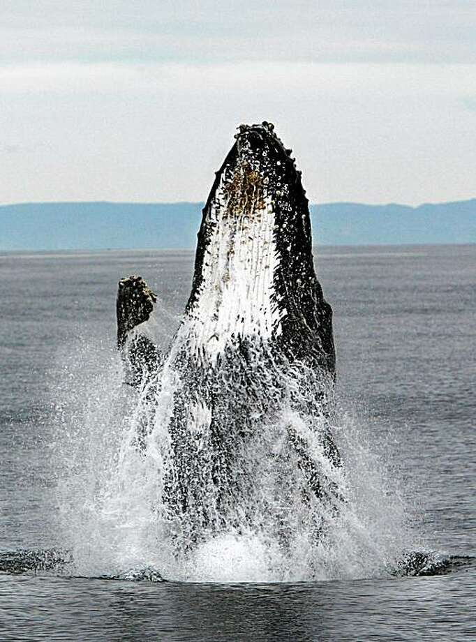 A humpback whale breaches off the California coast, just a few miles west of San Francisco. Photo: Frederic Larson, The Chronicle