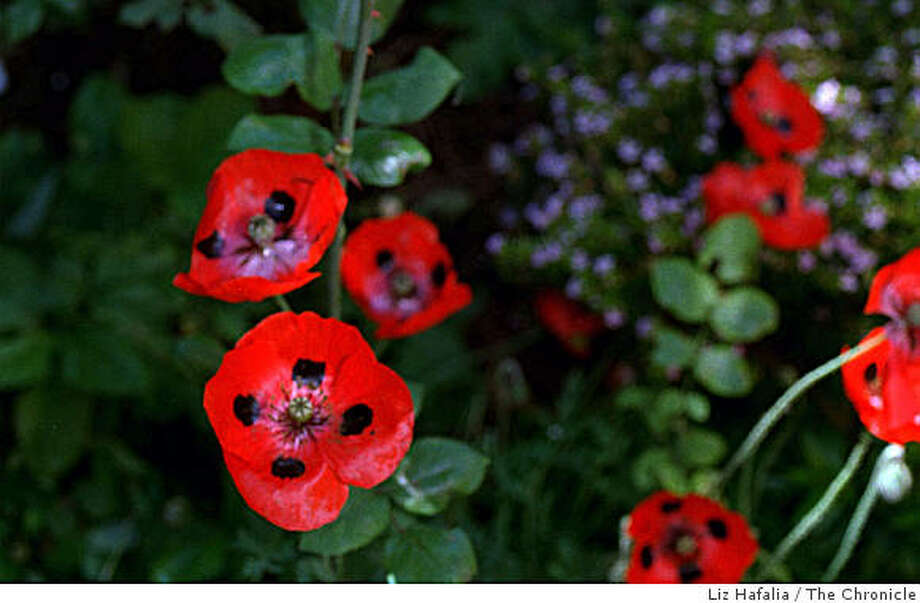 Oriental poppies are grown from dormant roots as perennials. Photo: Liz Hafalia, The Chronicle