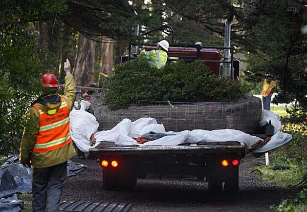 A rare Franciscan manzanita bush is moved into position aboard a flatbed truck at The Presidio in San Francisco, Calif., on Saturday, Jan. 23, 2010. Thought to have been an extinct variety, the manzanita was discovered and identified last month and was uprooted and replanted in an undisclosed location to make way for the Doyle Drive renovation project. Photo: Paul Chinn, The Chronicle